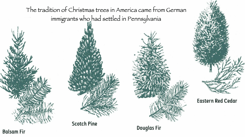 The tradition of Christmas trees in America came from German immigrants who had settled in Pennsylvania